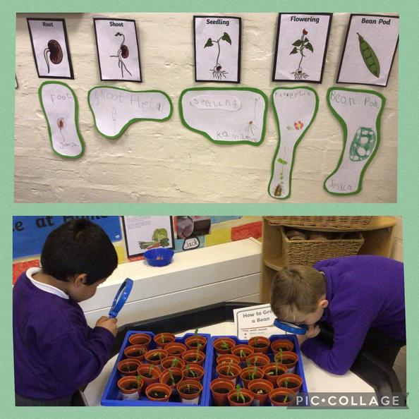The children have planted beans. They were so excited to see them grow.