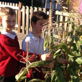 Harvesting the cornthat they planted in spring.
