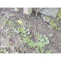 Daffodils shooting up