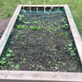 Carrots, lettuce and rhubarb