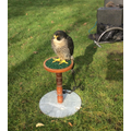 Geoff the Peregrine Falcon