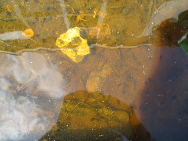 We have tadpoles in our pond.