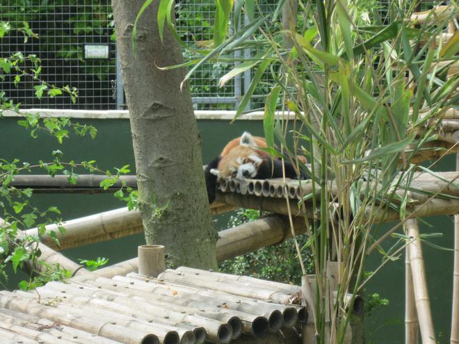 a sleepy red panda