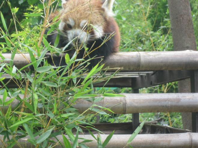 Red panda having his lunch