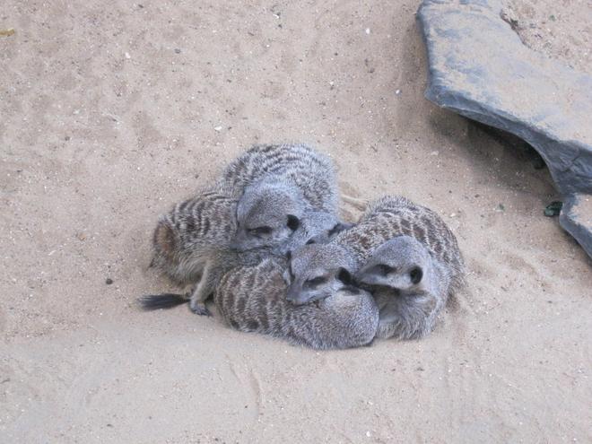 very cute meerkats