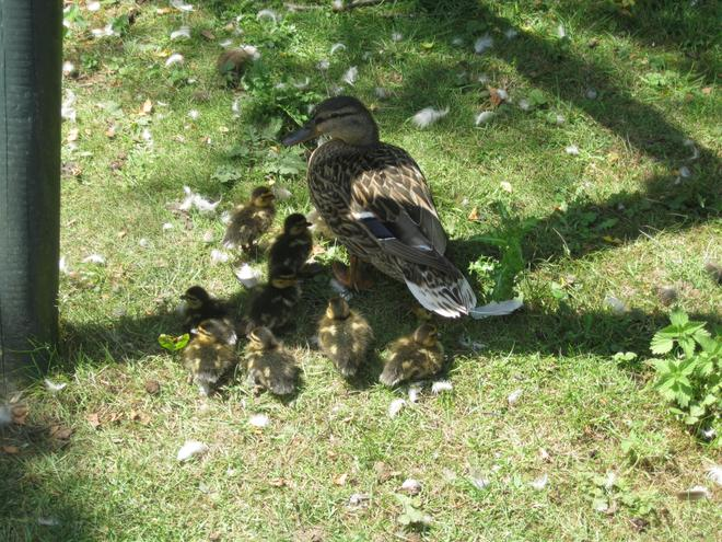 ducklings staying close to mum