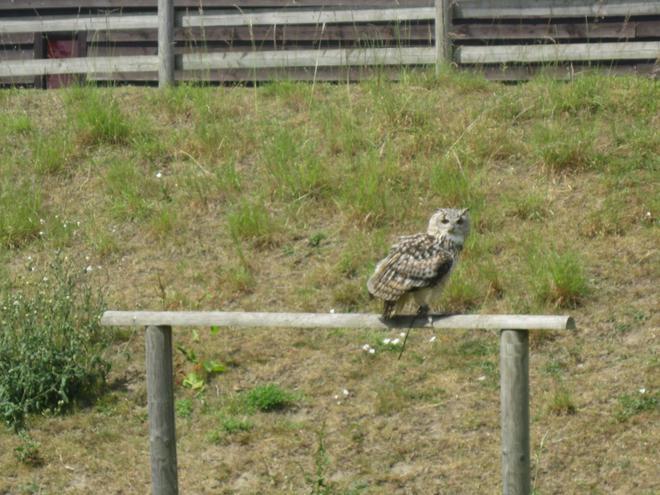 Igor the eagle owl