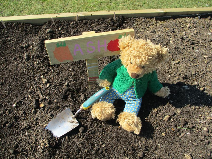 Ash planted beetroot and lettuce in the allotment.