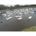 Gliding swans.