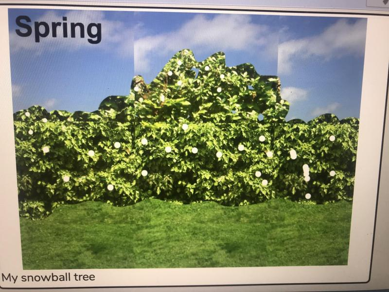 Alfie's spring picture is an amazing snowball tree