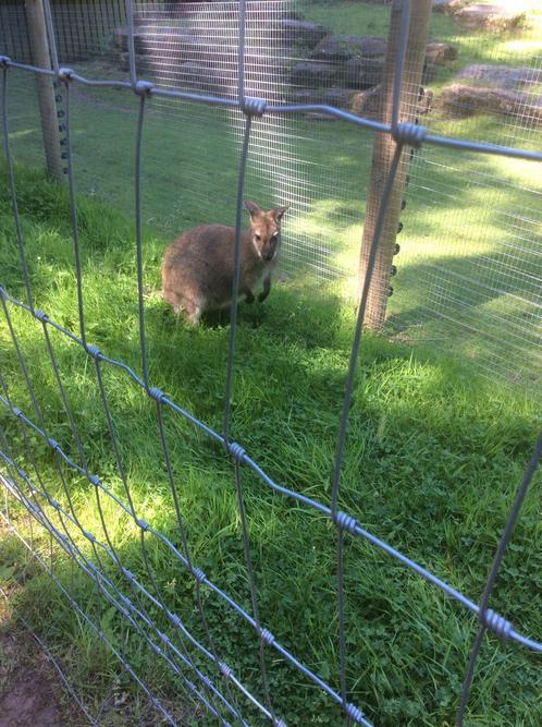 The wallaby enjoyed jumping around his enclosure.