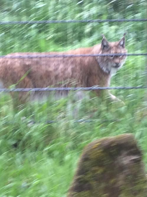 The lynx is looking for extra food.