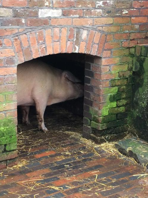 Is the pig hiding from us?