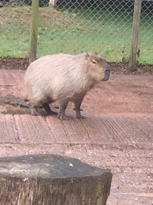 Is this an enormous guinea pig? no its a capabara!