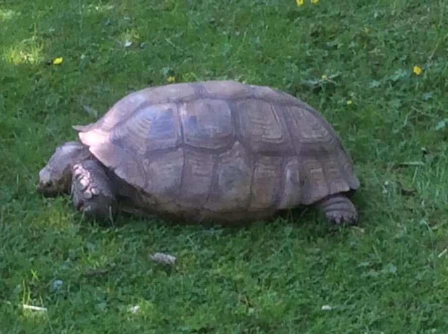 What has this tortoise been eating? He is massive!