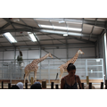 Inside the Giraffe house!