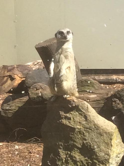 The meerkat sentry has spotted us!