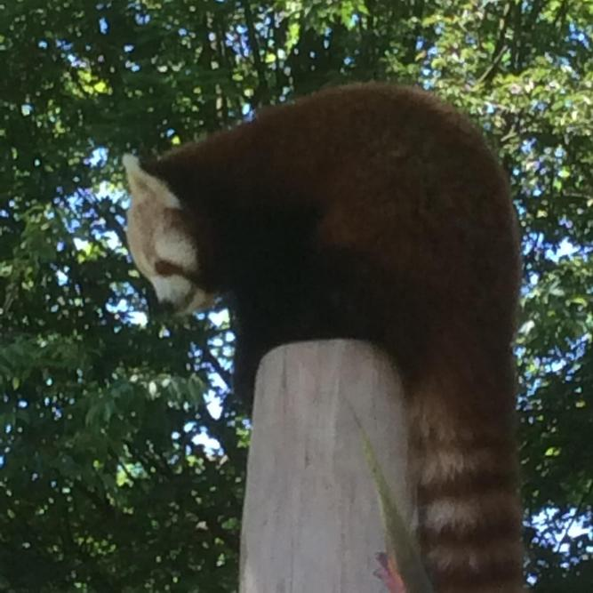 The red panda wanted to stay in the shade