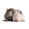Domstic rat