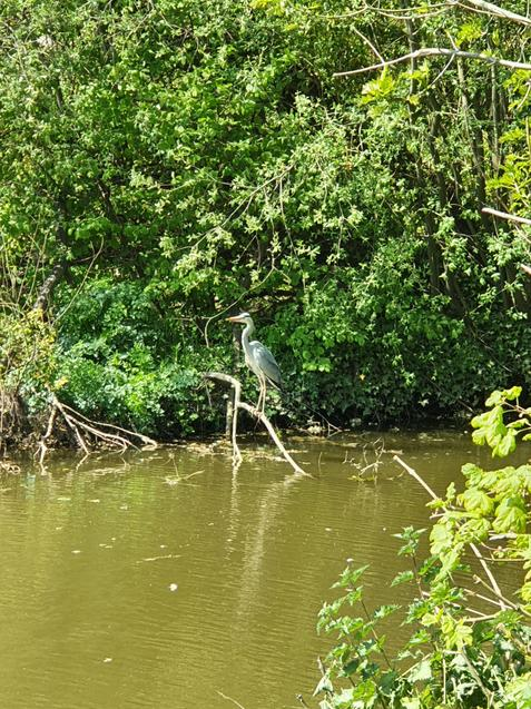 A heron by the river bank!