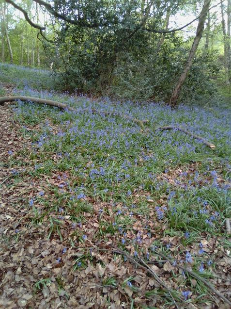 Bluebells spotted on World Earth Day!