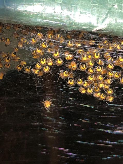 They are super tiny orb spiders!