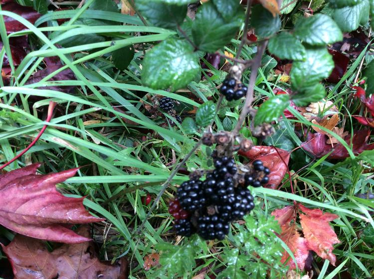 ...black berries...