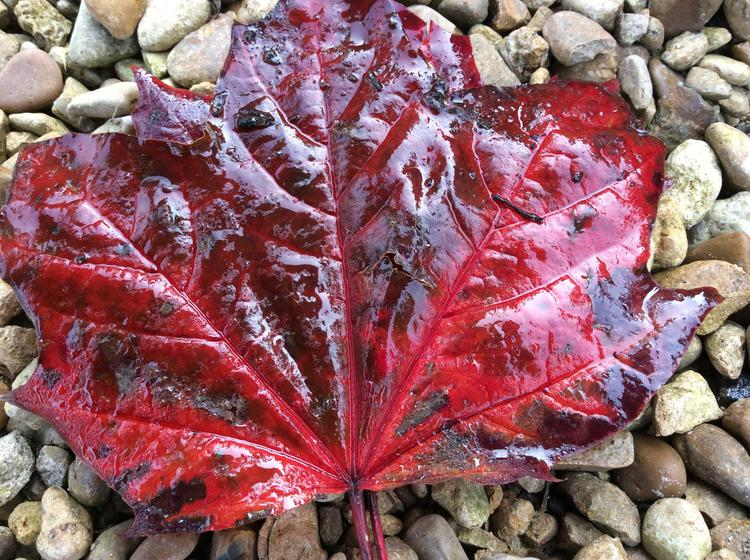...giant red leaves...