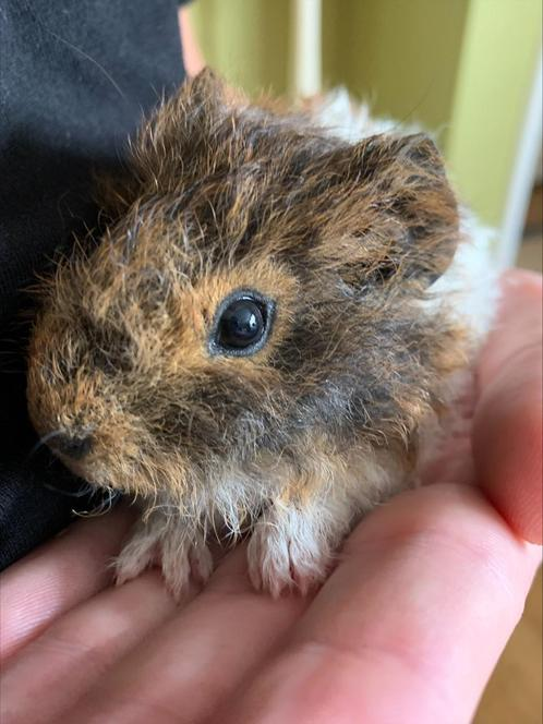 Mabel the guinea pig