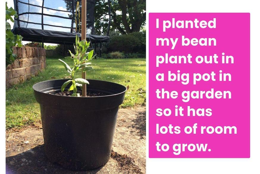 Evie planted her bean plant