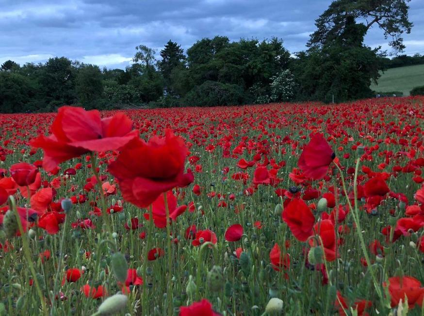 Kieran's poppy field