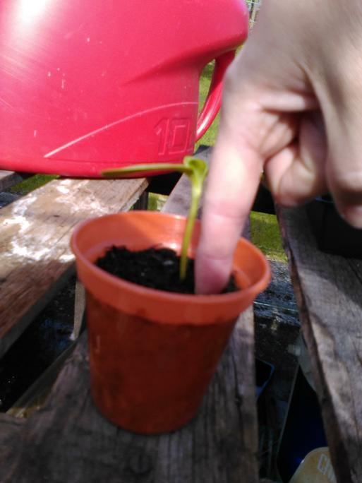 Mrs Baker's sunflower so far!