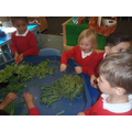 We practiced our cutting skills using herbs.