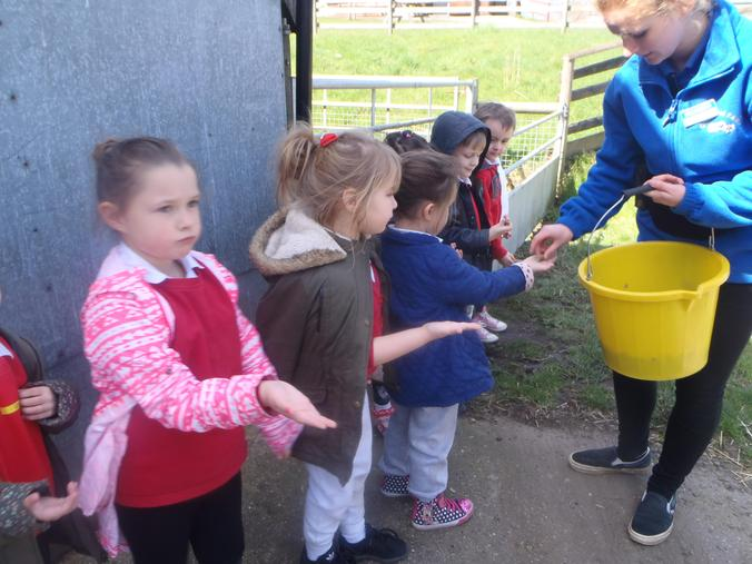 We fed the pigs with food pellets.