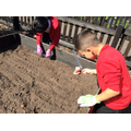 Planting radish and lettuce seeds.