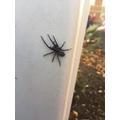 CFS found a HUGE spider.