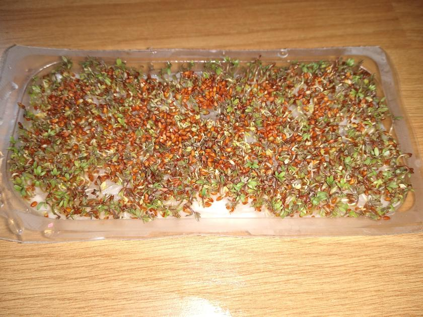 The cress is starting to grow!