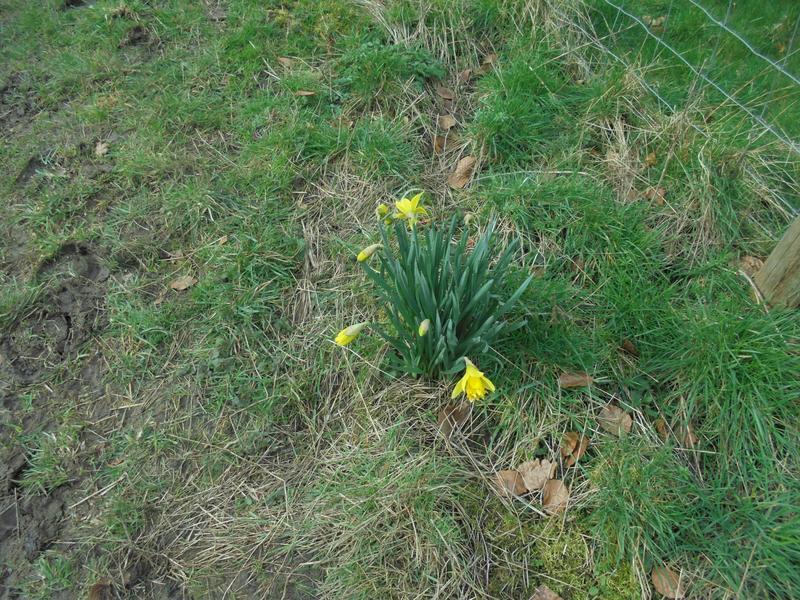 An early daffodil.