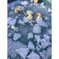 We found the ducks were frozen!