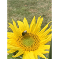 Our sunflowers have helped us understand pollination