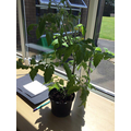 Y5 plant looking good after the half term hols