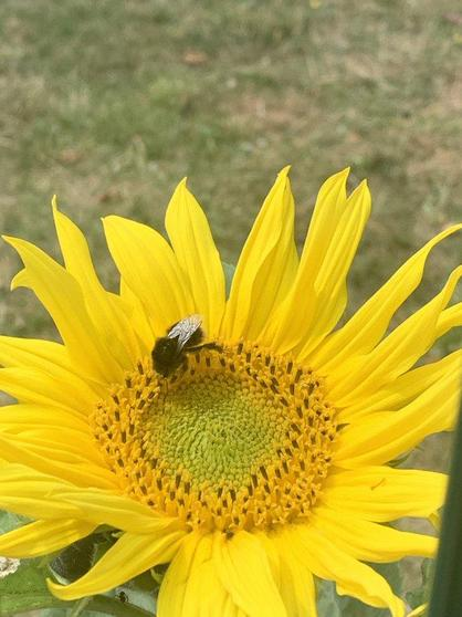 Honey bee on our sunflowers!
