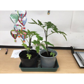 Y3 and 4 tomato plants
