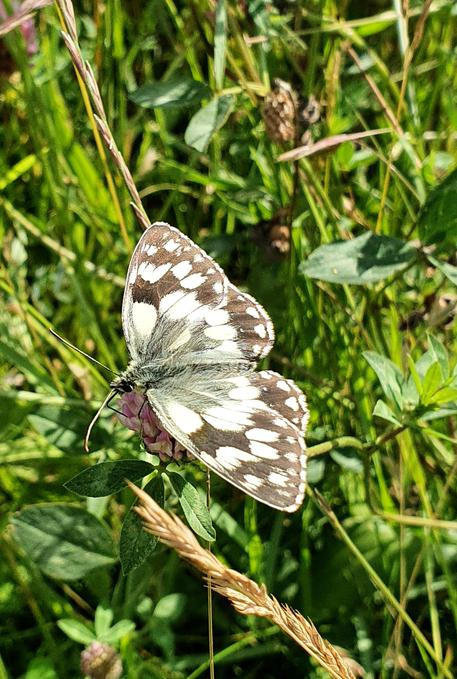 Marbled white (Cambourne)