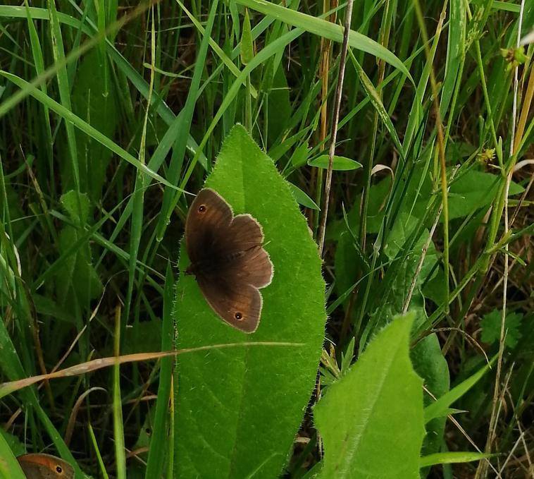 Meadow brown (Cambourne)