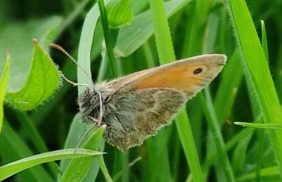Small heath butterfly (Tring)