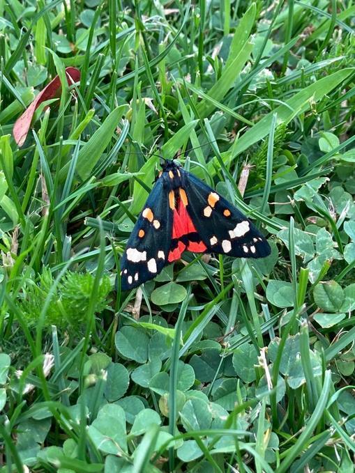 Scarlet tiger moth (Bedfordshire)