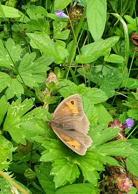 Meadow brown (Wimpole)