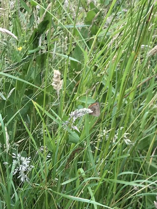 Small heath butterfly (Cambourne)