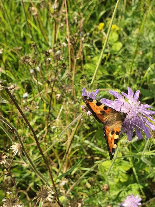 Tortoise shell butterfly feeding (Cambourne)